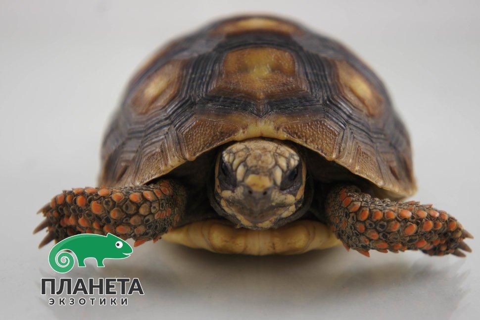 Черепаха Угольная Фото