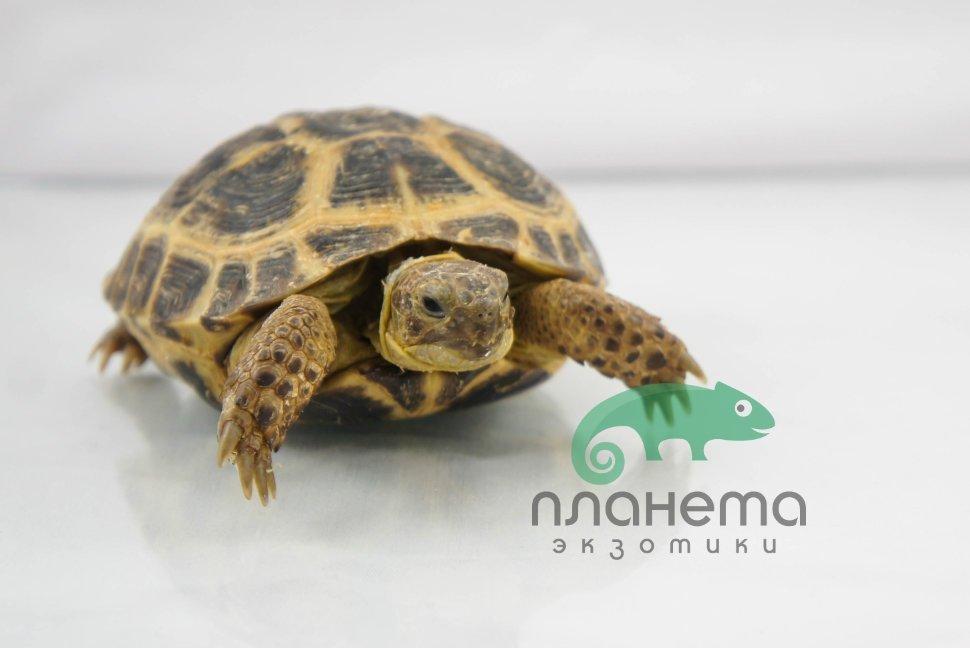 черепаха домашняя сухопутная фото