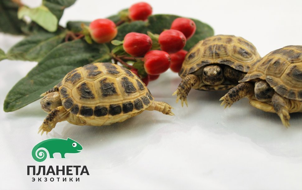 куплю сухопутную черепаху в красногорске