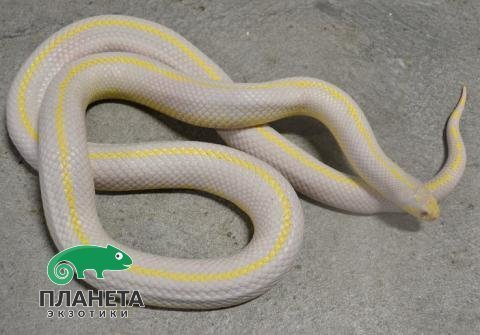 Королевская змея калифорнийская Albino Striped