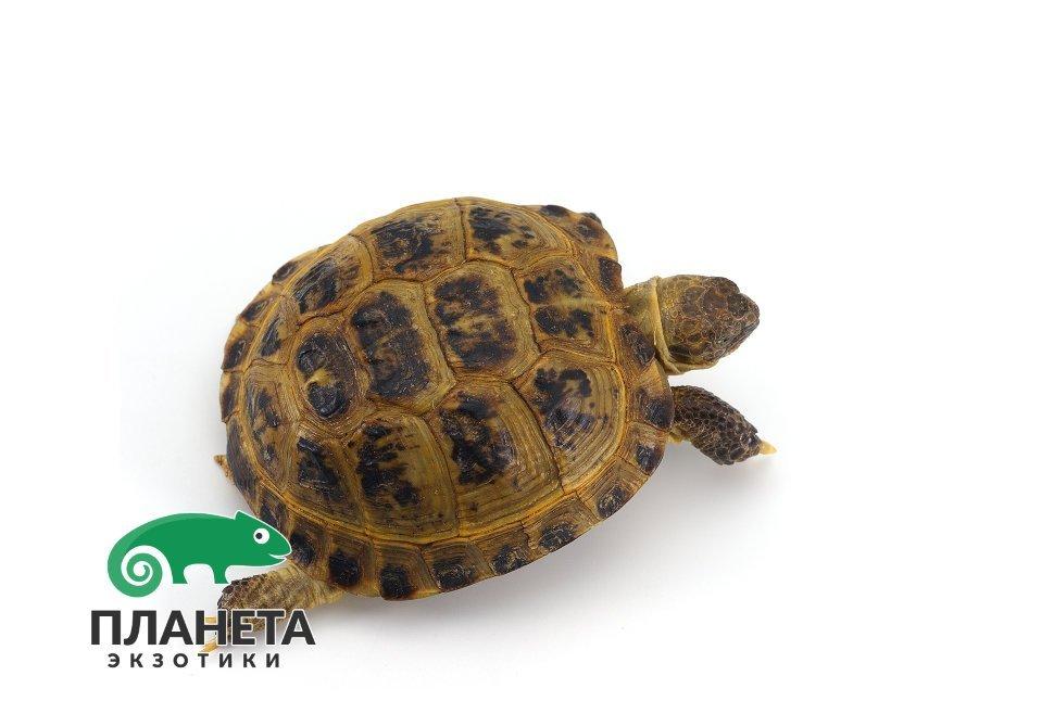 зоомагазин среднеазиатская черепаха